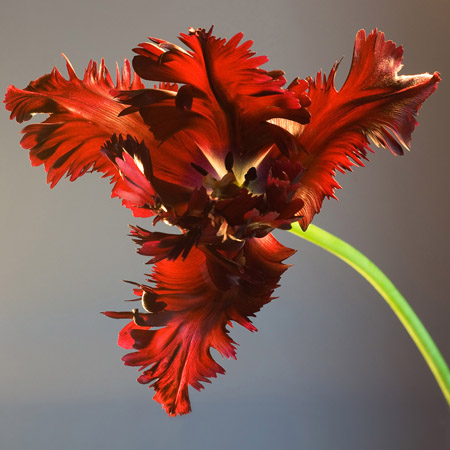 Red Tulip. Keywords: Andy Morley;tulip;red;flower;black parrot;single
