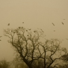 Coming Home To Roost. Keywords: Andy Morley;Rooks;Roosting;Sepia;rook;birds;flock;roost;tree;monochrome;mist;fog